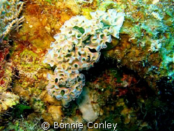 Lettuce Sea Slug seen in Grand Cayman August 2008.  Photo... by Bonnie Conley 